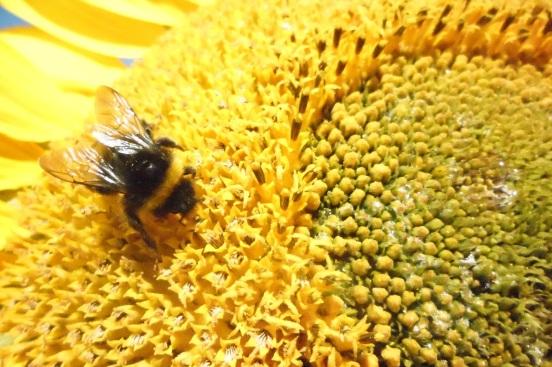 07-08-14 05 Bumblebee on a sunflower.JPG