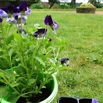 Violas, the new addition to my garden this week.